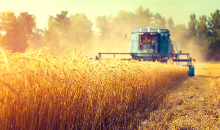 a harvester drives through a field of golden wheat