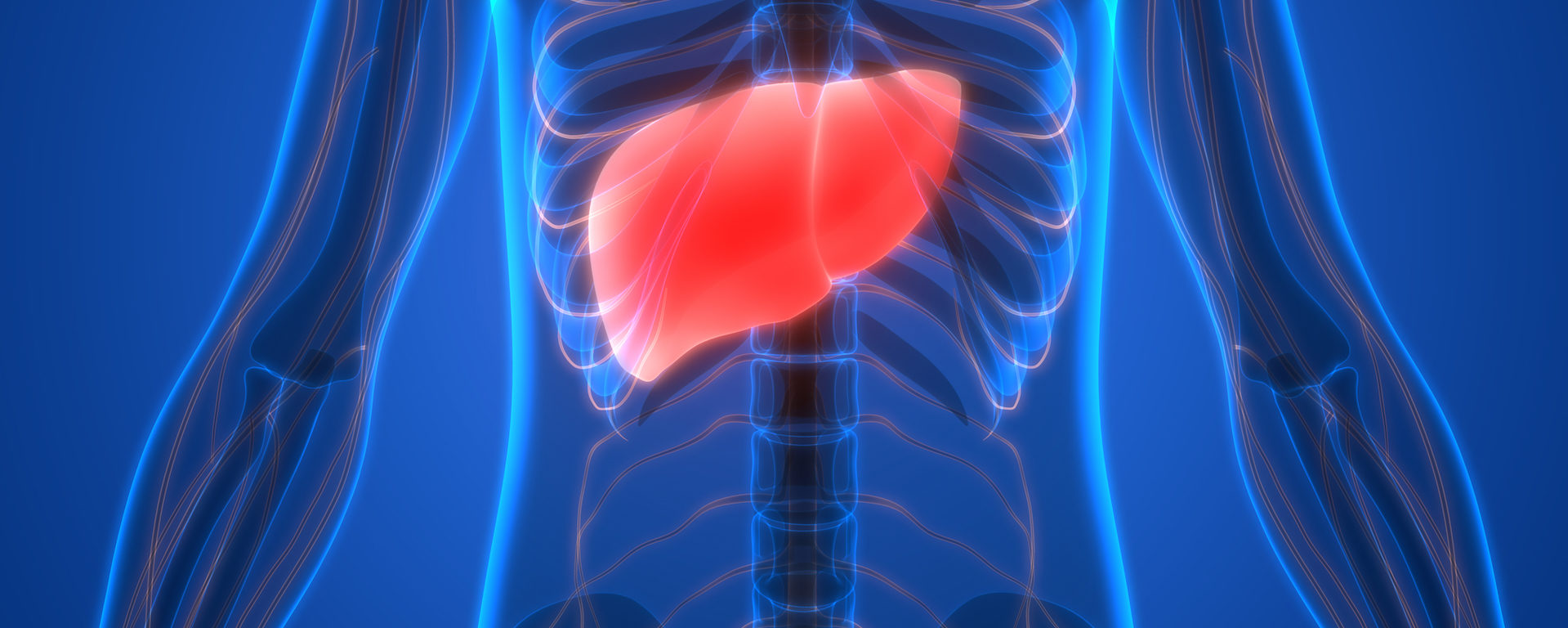 medical illustration showing a red liver in a blue transparent body